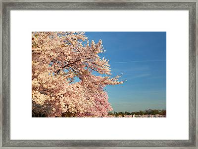 Cherry Blossoms 2013 - 014 Framed Print by Metro DC Photography