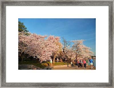 Cherry Blossoms 2013 - 015 Framed Print