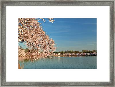 Cherry Blossoms 2013 - 017 Framed Print by Metro DC Photography