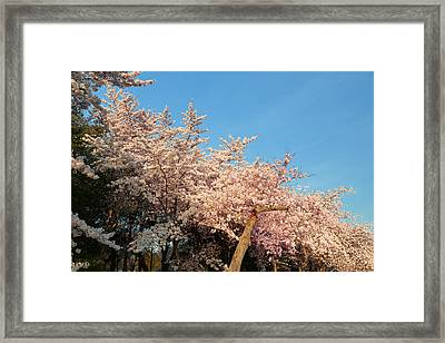 Cherry Blossoms 2013 - 019 Framed Print by Metro DC Photography