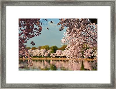Cherry Blossoms 2013 - 023 Framed Print by Metro DC Photography