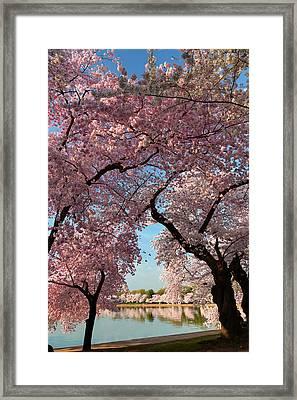 Cherry Blossoms 2013 - 024 Framed Print