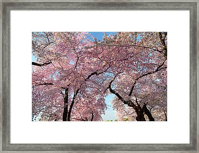 Cherry Blossoms 2013 - 025 Framed Print by Metro DC Photography