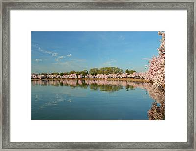 Cherry Blossoms 2013 - 026 Framed Print by Metro DC Photography