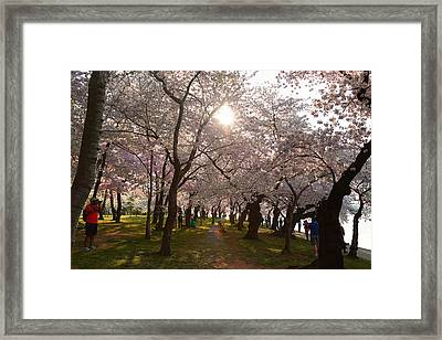 Cherry Blossoms 2013 - 027 Framed Print by Metro DC Photography