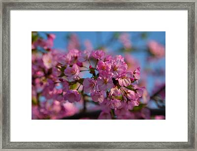 Cherry Blossoms 2013 - 031 Framed Print by Metro DC Photography