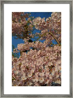 Cherry Blossoms 2013 - 034 Framed Print by Metro DC Photography