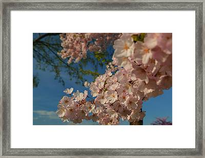 Cherry Blossoms 2013 - 035 Framed Print by Metro DC Photography