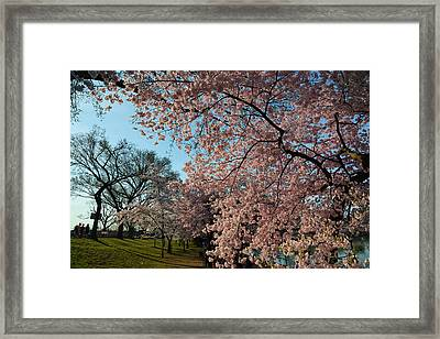 Cherry Blossoms 2013 - 038 Framed Print by Metro DC Photography