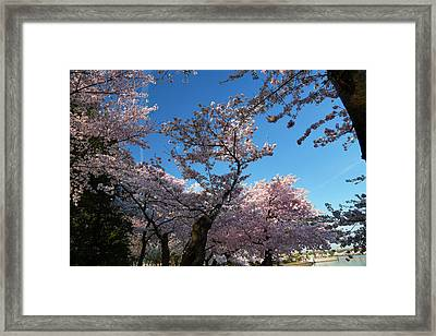 Cherry Blossoms 2013 - 042 Framed Print by Metro DC Photography