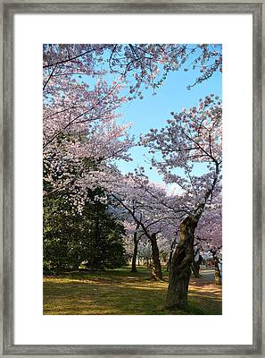 Cherry Blossoms 2013 - 043 Framed Print