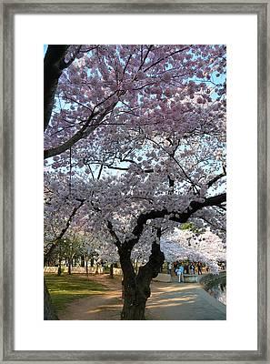 Cherry Blossoms 2013 - 044 Framed Print