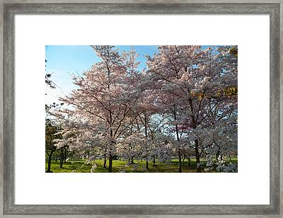 Cherry Blossoms 2013 - 049 Framed Print by Metro DC Photography