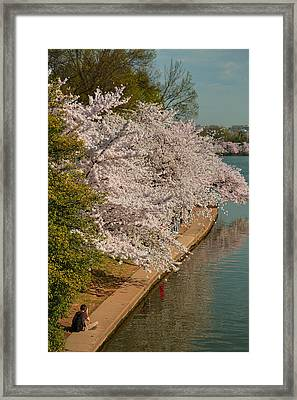 Cherry Blossoms 2013 - 053 Framed Print by Metro DC Photography