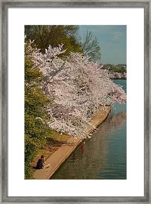 Cherry Blossoms 2013 - 053 Framed Print