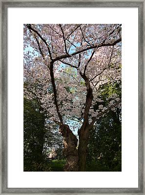 Cherry Blossoms 2013 - 056 Framed Print