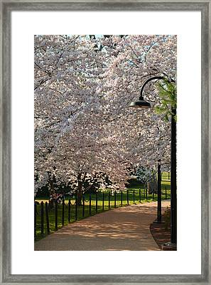Cherry Blossoms 2013 - 060 Framed Print by Metro DC Photography