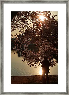 Cherry Blossoms 2013 - 061 Framed Print by Metro DC Photography
