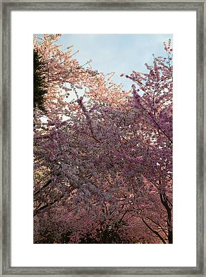 Cherry Blossoms 2013 - 065 Framed Print by Metro DC Photography