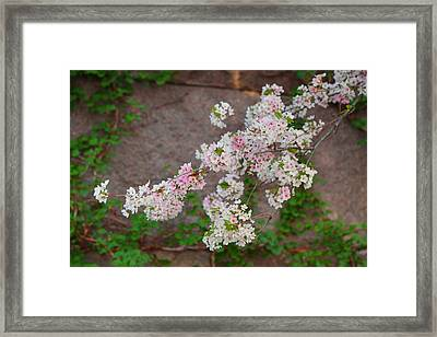 Cherry Blossoms 2013 - 067 Framed Print by Metro DC Photography