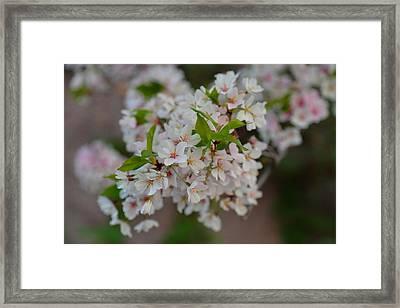 Cherry Blossoms 2013 - 068 Framed Print