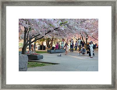 Cherry Blossoms 2013 - 069 Framed Print by Metro DC Photography