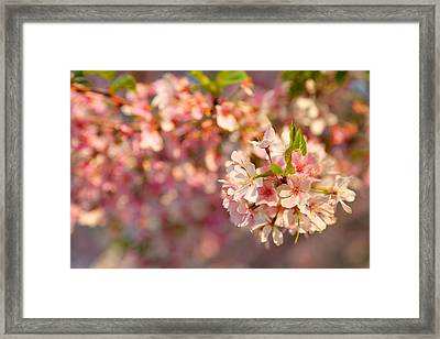 Cherry Blossoms 2013 - 072 Framed Print by Metro DC Photography