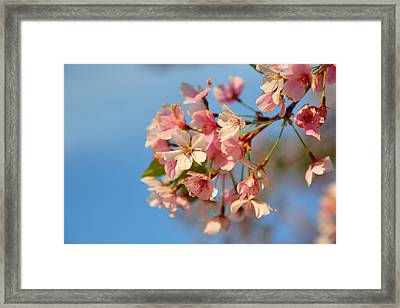 Cherry Blossoms 2013 - 074 Framed Print