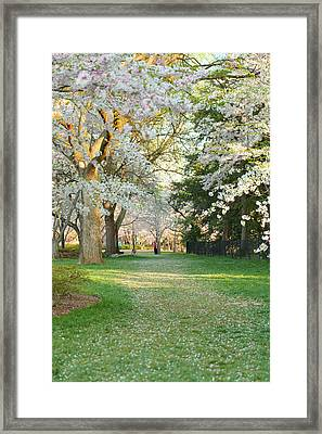 Cherry Blossoms 2013 - 075 Framed Print by Metro DC Photography
