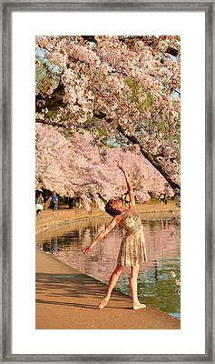 Cherry Blossoms 2013 - 077 Framed Print by Metro DC Photography