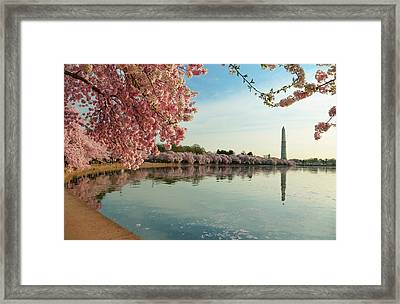 Cherry Blossoms 2013 - 084 Framed Print