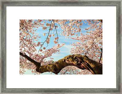 Cherry Blossoms 2013 - 089 Framed Print
