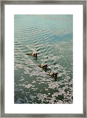 Cherry Blossoms 2013 - 090 Framed Print by Metro DC Photography