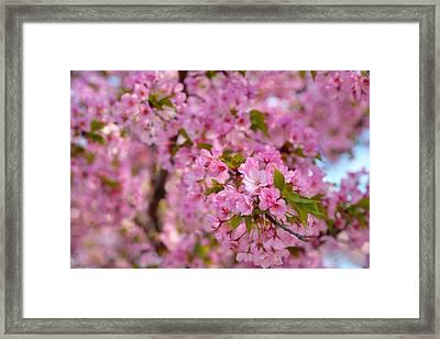 Cherry Blossoms 2013 - 096 Framed Print
