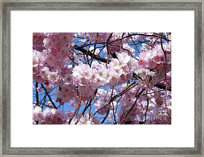 Cherry Blossom Trees Of Branch Brook Park 3 Framed Print