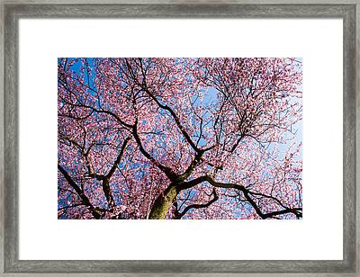 Cherry Blossoms All Over Framed Print