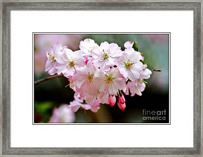 Cherry Blossoms And A Bee Framed Print by Patti Whitten