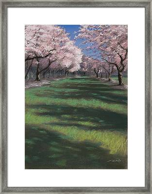 Cherry Blossoms Framed Print by Christopher Reid