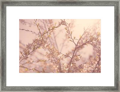 Cherry Blossoms Framed Print by Diane Diederich