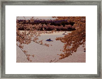 Cherry Blossoms  Framed Print by DustyFootPhotography