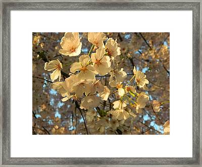 Framed Print featuring the photograph Cherry Blossoms by Emmy Marie Vickers