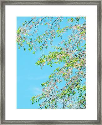 Framed Print featuring the photograph Cherry Blossoms Falling by Rachel Mirror
