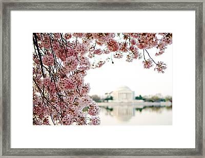 Cherry Blossoms Framing The Jefferson Memorial Framed Print by Susan Schmitz