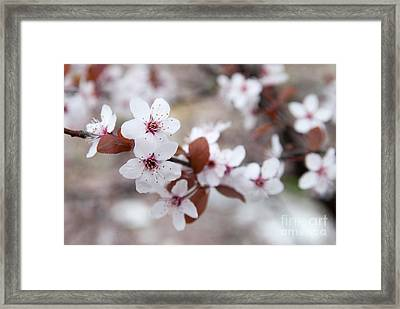 Cherry Blossoms Framed Print by Hannes Cmarits