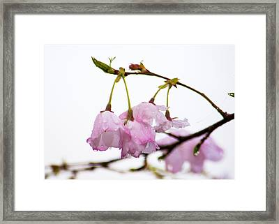 Cherry Blossoms In The Mist Framed Print by Jon Woodhams