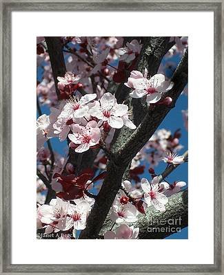 Cherry Blossoms Framed Print by Janet Berch