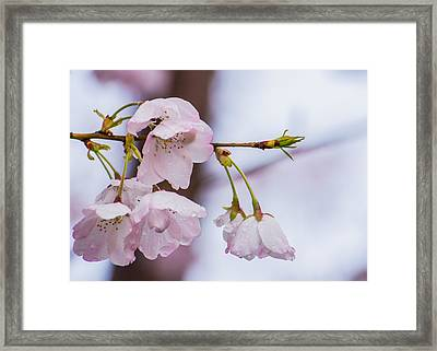 Cherry Blossoms Framed Print by Jon Woodhams
