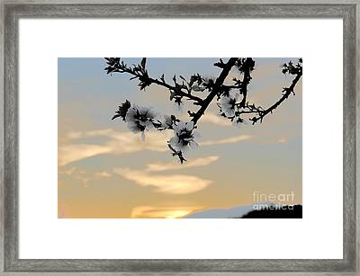 Cherry Blossoms Framed Print by Jordan Rusin
