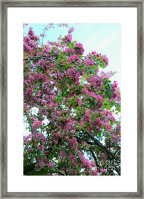Cherry Blossoms  Framed Print by Kathleen Struckle