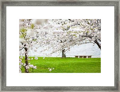 Cherry Blossoms On The Shore Of Fort Mchenry Framed Print by Susan Schmitz